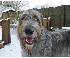 Irish wolfhounds are like potato chips 'you can't just have one!'